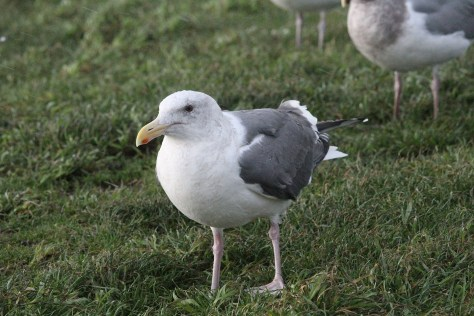 dark-backed gull