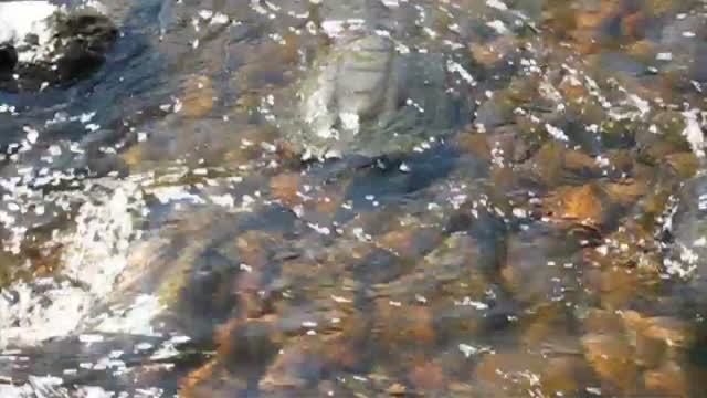 Oh, snap!  Watch a turtle take the plunge.