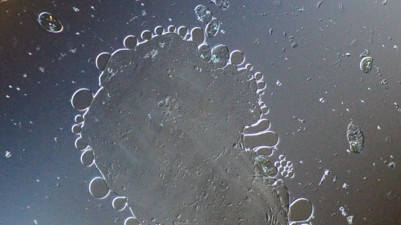 Crushed cells revealing the oil droplets