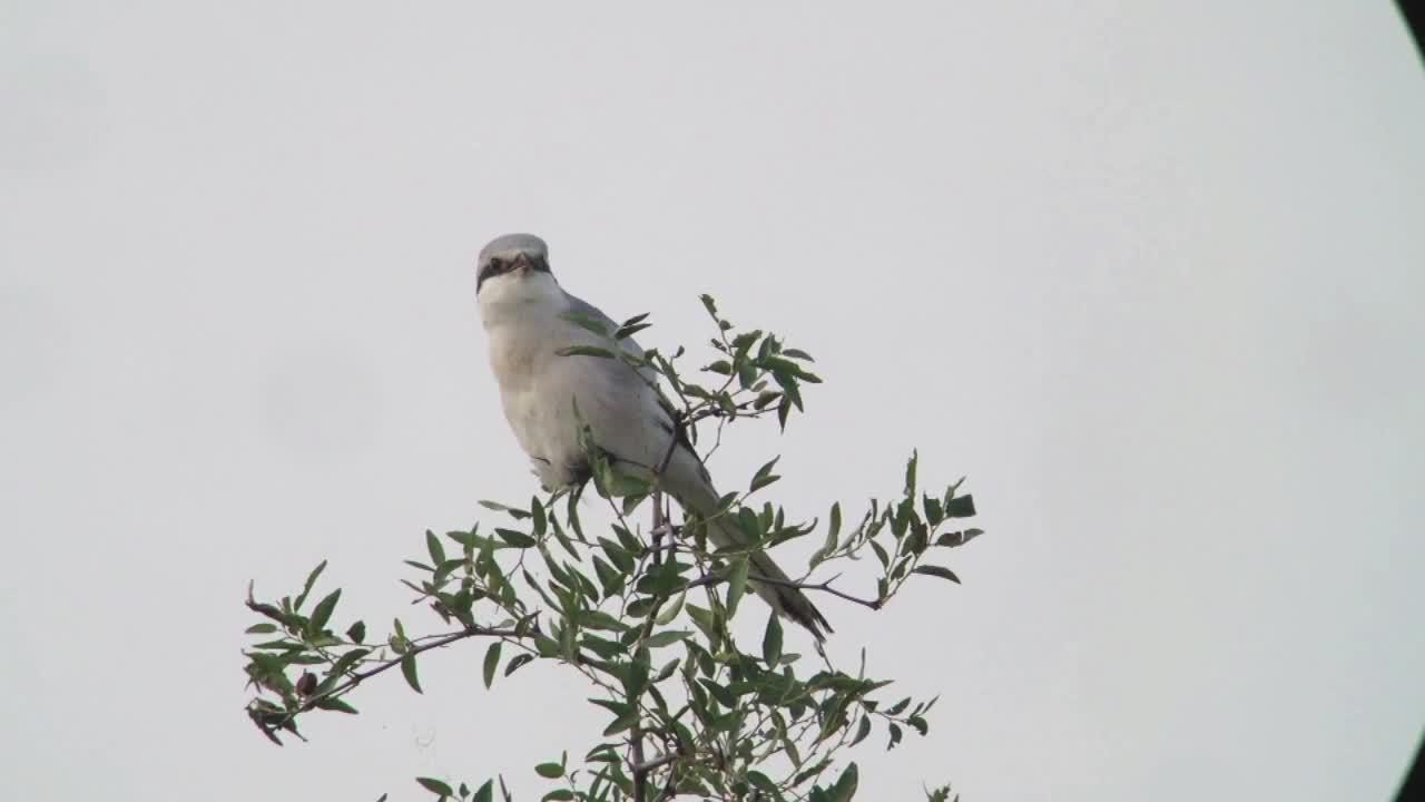 Chinese Grey Shrike