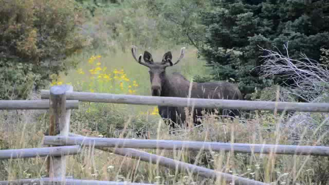 moose website