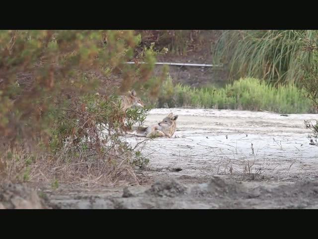 3 Coyotes