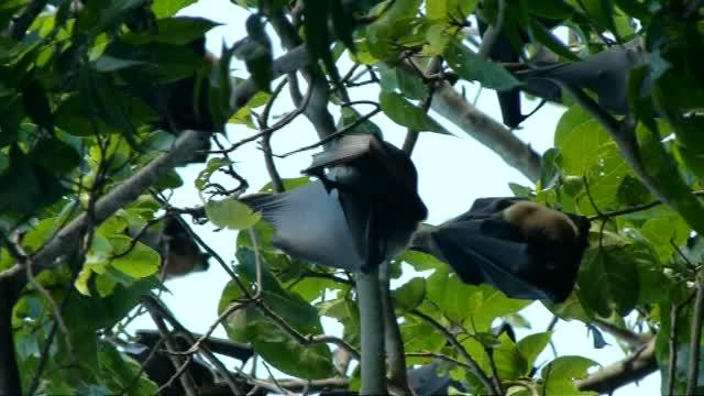 Rainforest Fruit Bats 3