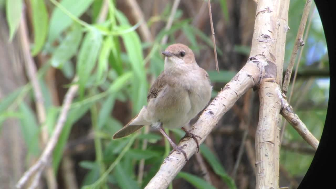 Eastern Nightingales