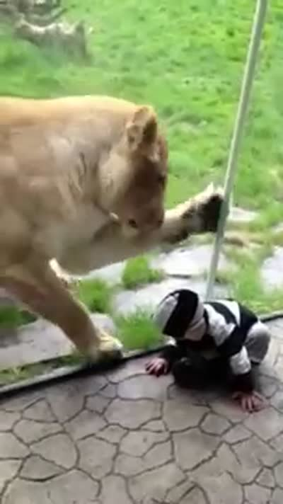 LionTriesEatingBaby