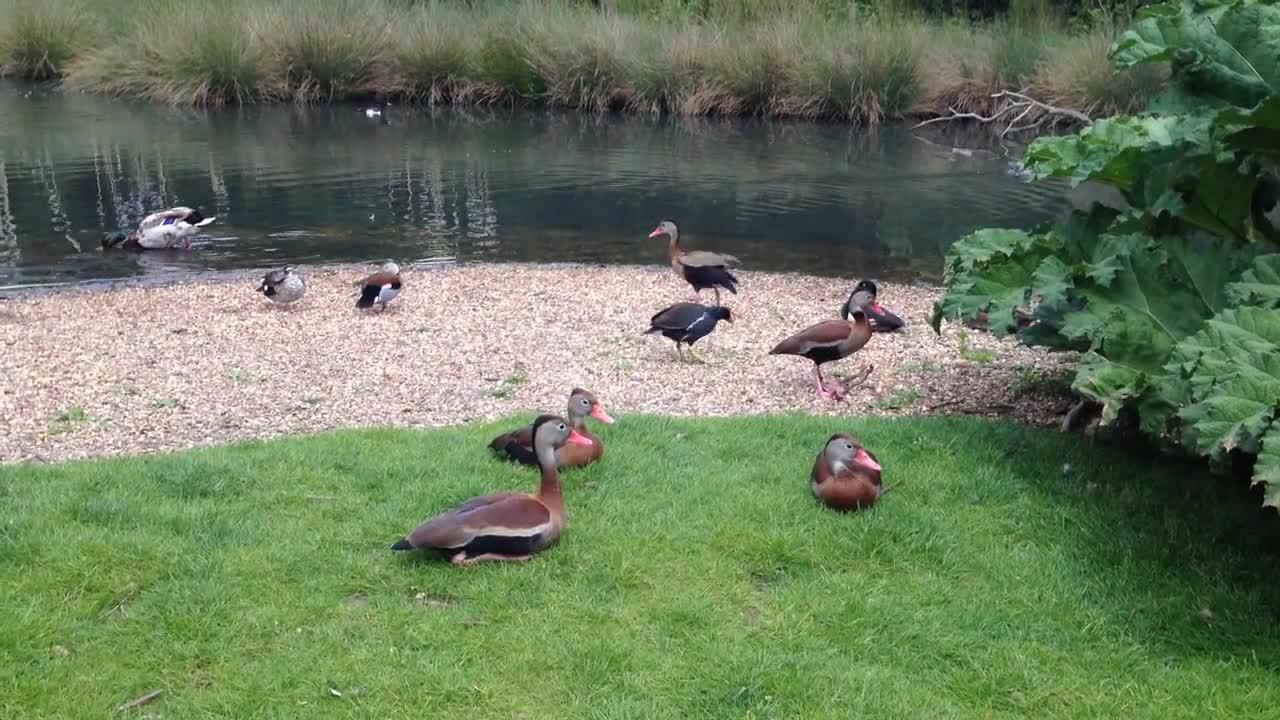 Black-bellied+Whistling+Ducks-HD