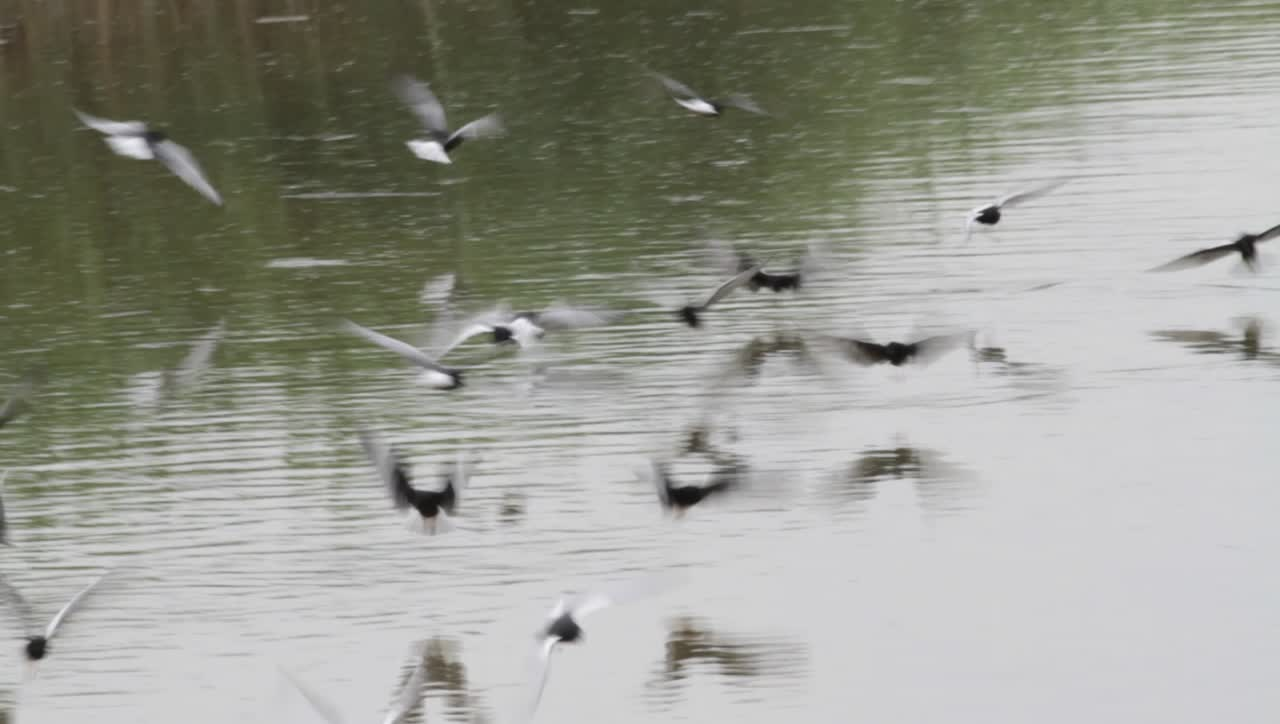 8 White-winged Black Tern (1)