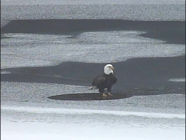 eagle stands on ihops from and runs back 26Jan2013