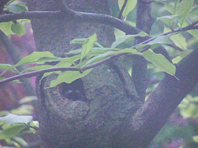 Chickadee nest 5 May 2012 – view 2