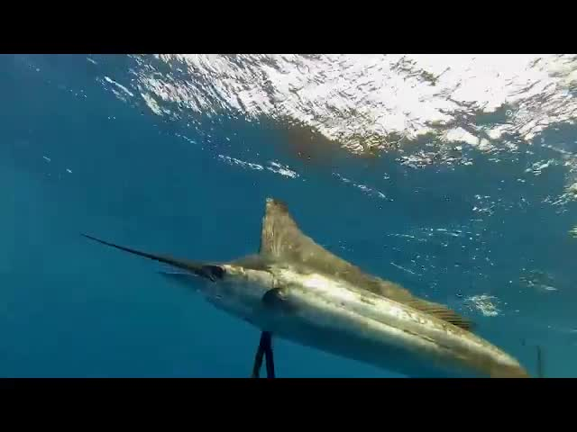 Safe Sailfish Handling