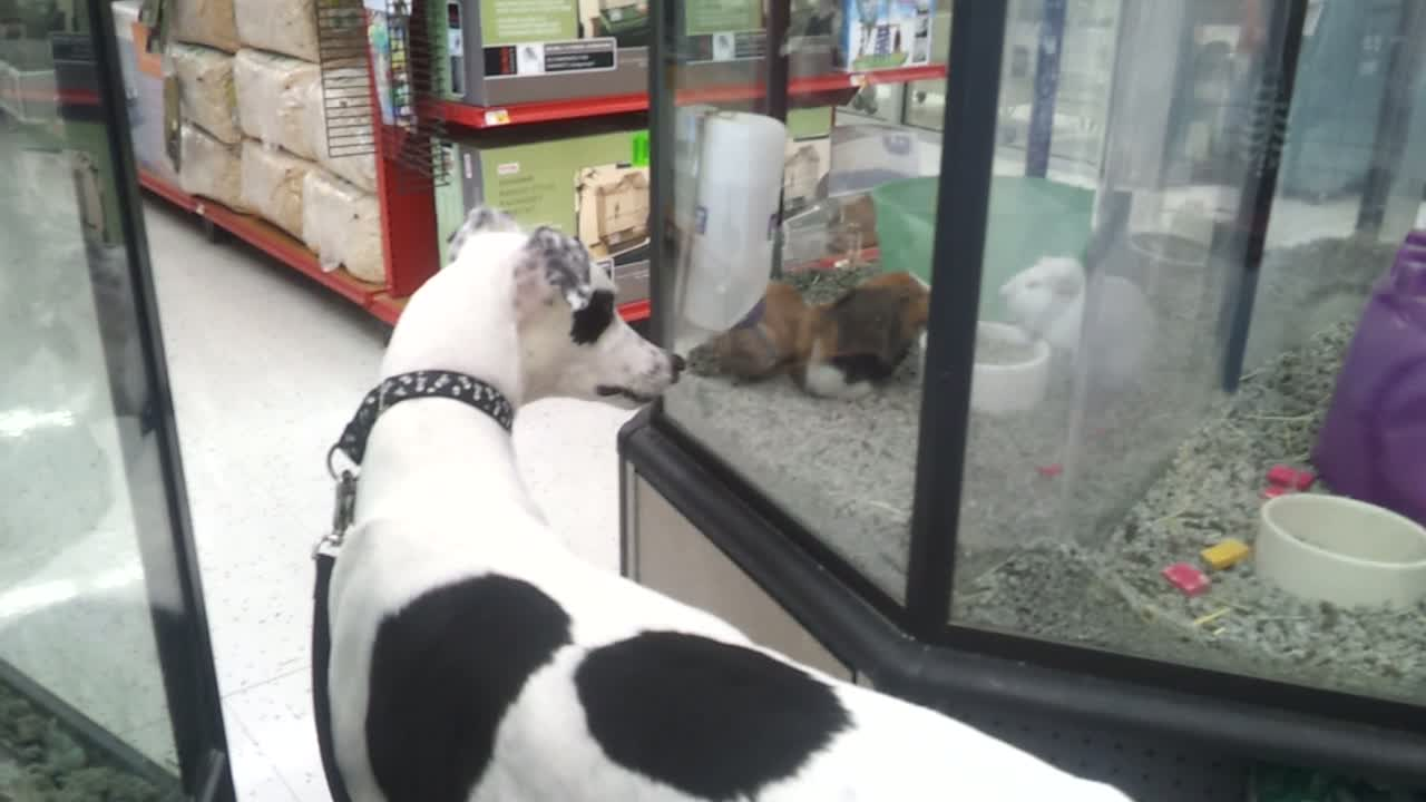Vitali watching the little furry creatures in Petco