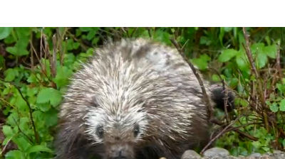 Porcupine in the Park