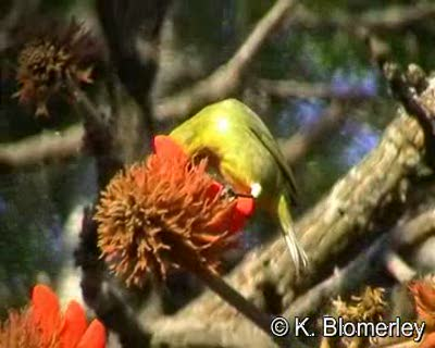 Cape White-eye (Zosterops pallidus) by Keith Blomerley – A bird feeding on flowers