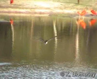 Black Skimmer – skimming then landing amongst a flock