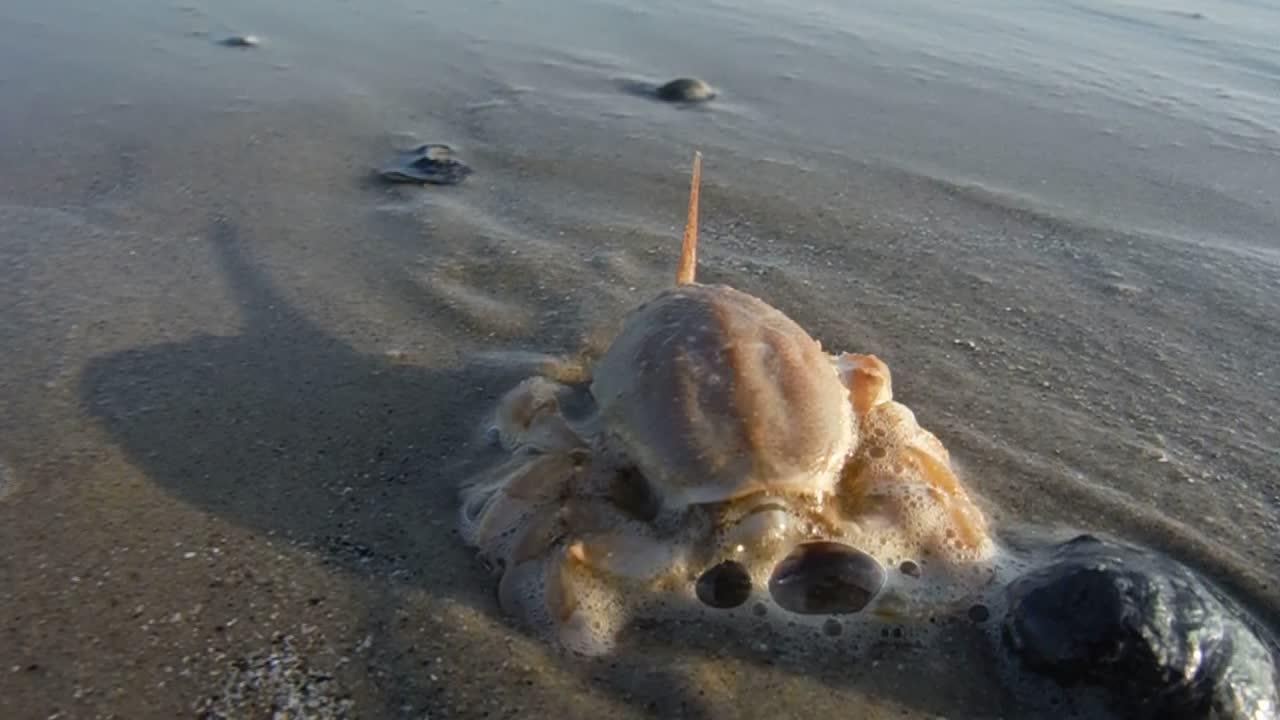 Masked crab (c)