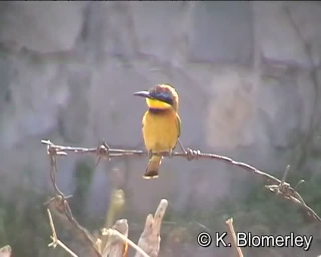 Little Bee-eater (Merops pusillus) &#8211; by Keith Blomerley