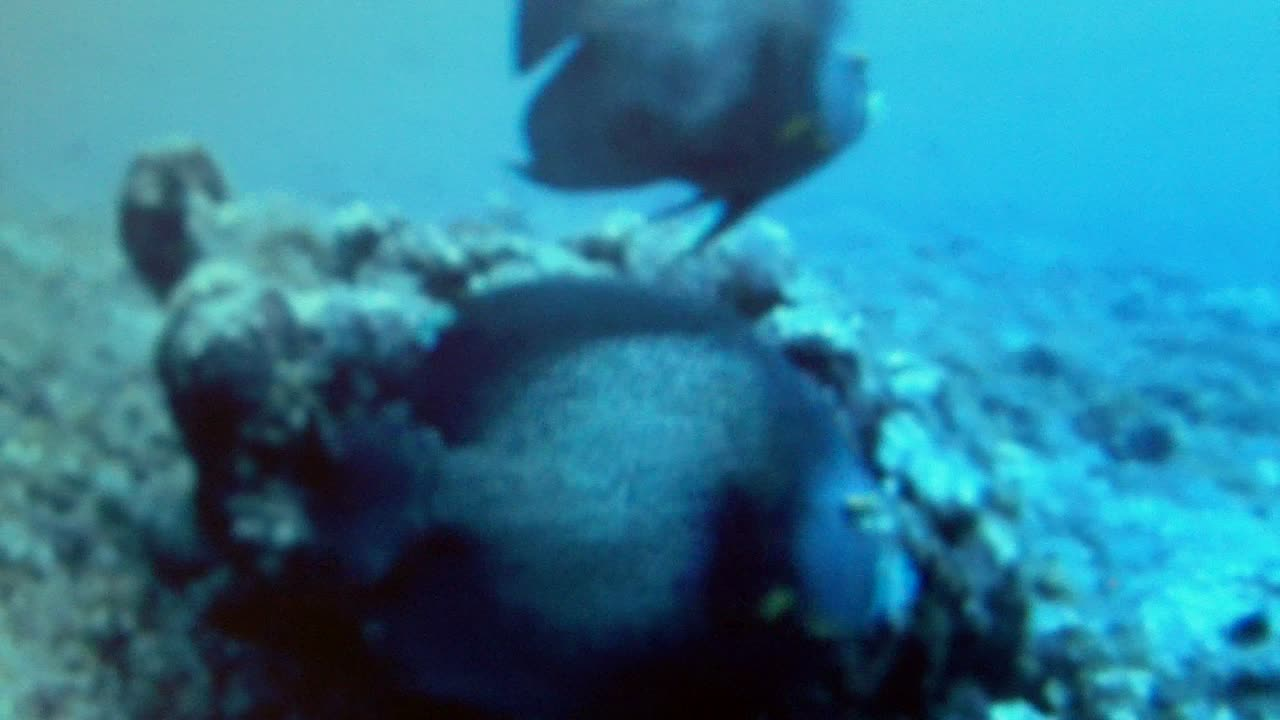 French Anglefish caught on our camera array