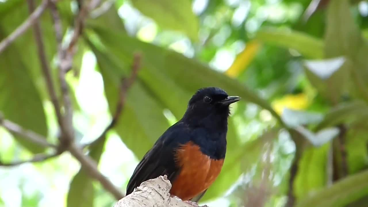 White-rumped Shama (Copsychus malabaricus)  at Zoo Miami – Lee