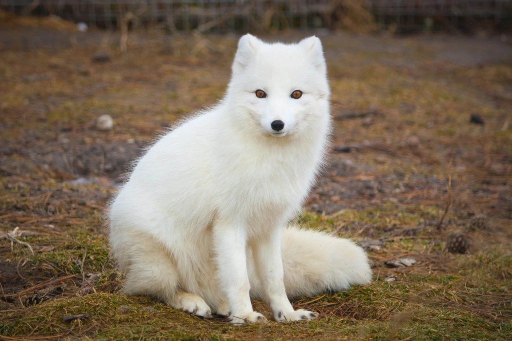 Black And White Animal Wallpaper Arctic Fox Creatures Of The World Wikia Fandom Powered