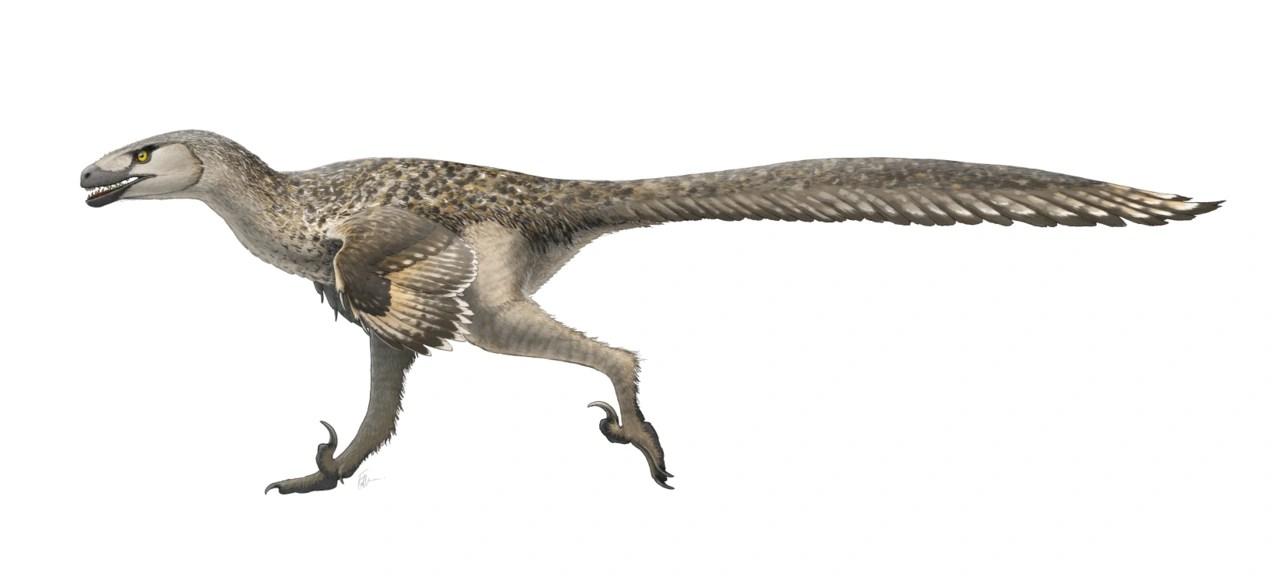 Dromaeosaurus Dinopedia Fandom Powered By Wikia