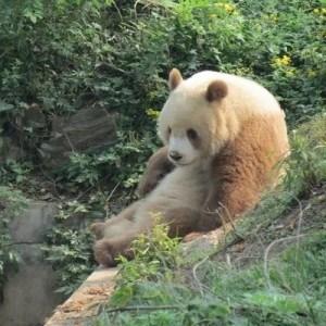 Cute Baby Tiger Wallpaper Qinling Panda Animal Database Fandom Powered By Wikia