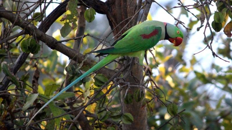 Parakeet - Birding Diary - 1