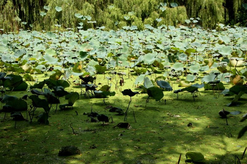 Lotus Plants - Butterfly Park Chandigarh