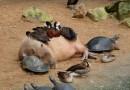 Эти фотографии показывают как капибара любят другие животные.
