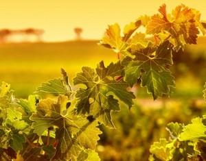 viniditalia Feuilles vigne