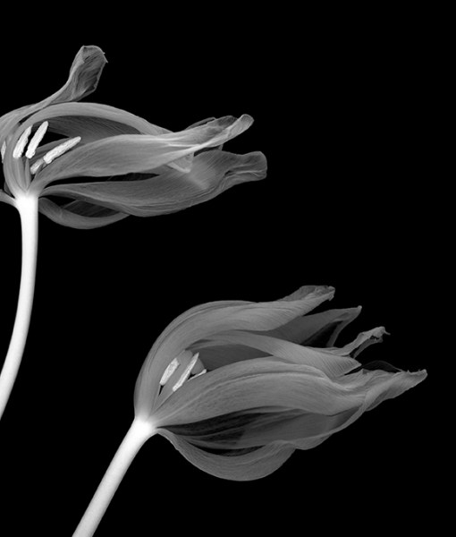 olivier-garcia-tulipa-maureen-1