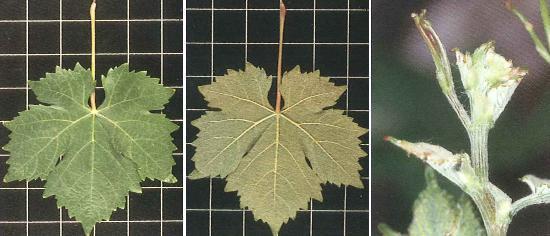 variedad-uva-airen