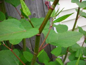 Japanese Knotweed a good source of resveratrol