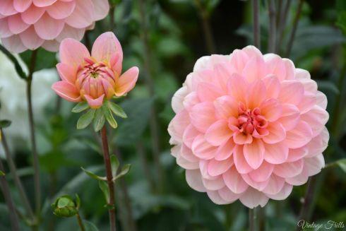 Hampton Court Pink Flower