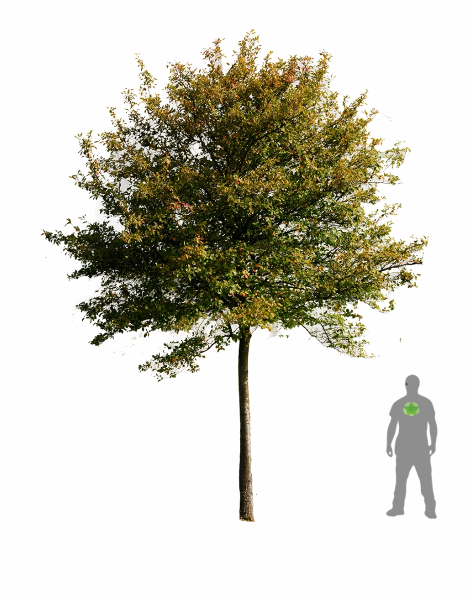 View And Not Just The World Turn Illustration Trees Amelanchier Lamarckii Psd Transparent Png Download 706255 Vippng