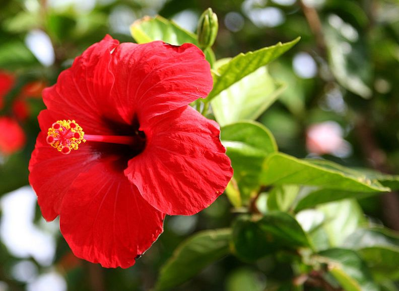 Hibiscus Flower Benefits For Hair Surprising Health Benefits Of Hibiscus Or Gumamela In