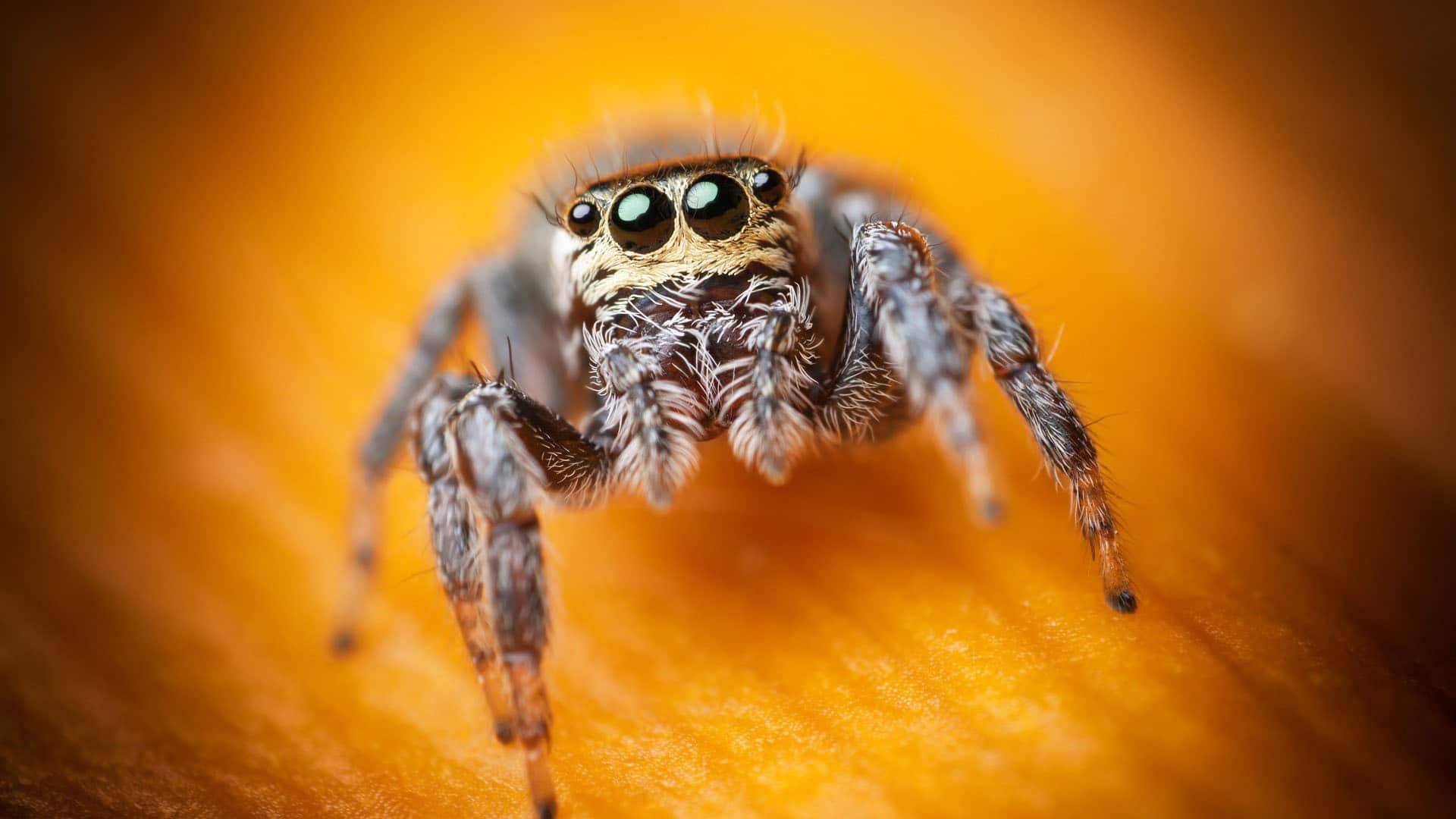 Cute Jumping Spider Wallpaper Spiders Looking Cute Viral Rang