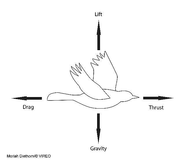 diagram of forces of flight