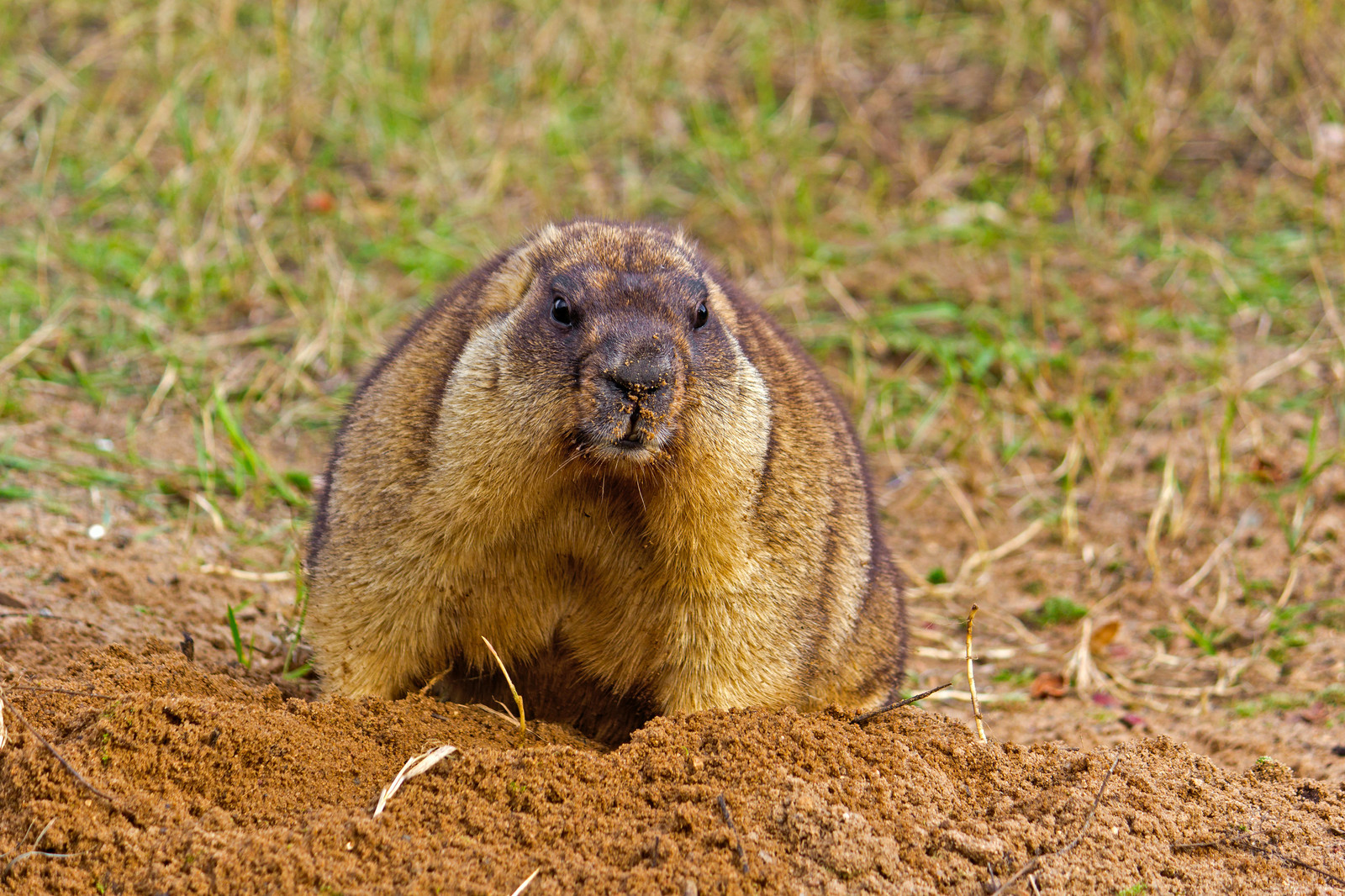 Fullsize Of How To Get Rid Of Gophers