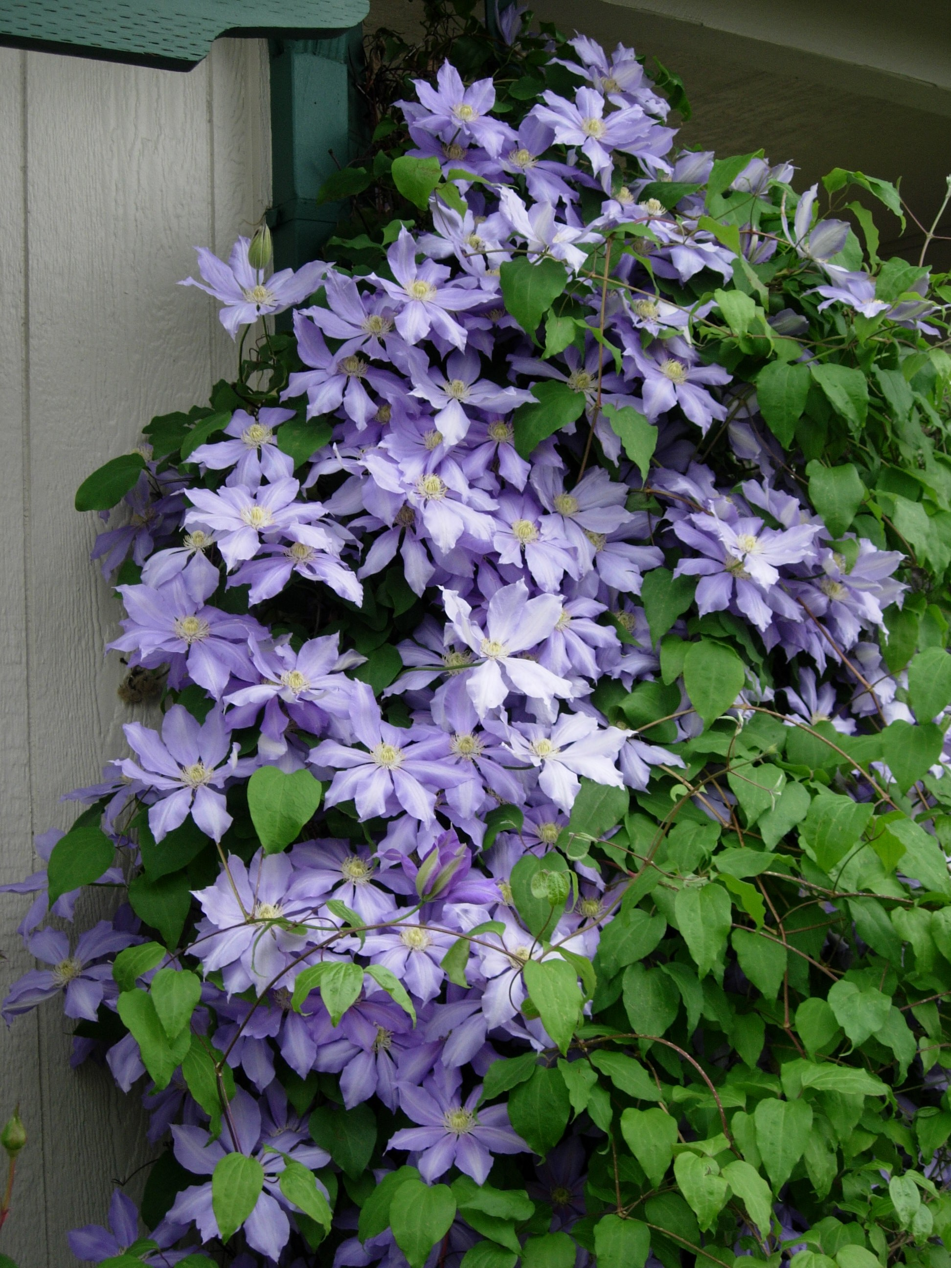 Wintergroene Clematis Choose Clematis Growing A Gardener 39s Journal