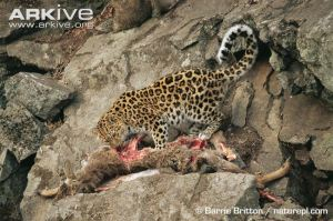 Wild-Amur-leopard-feeding-on-prey