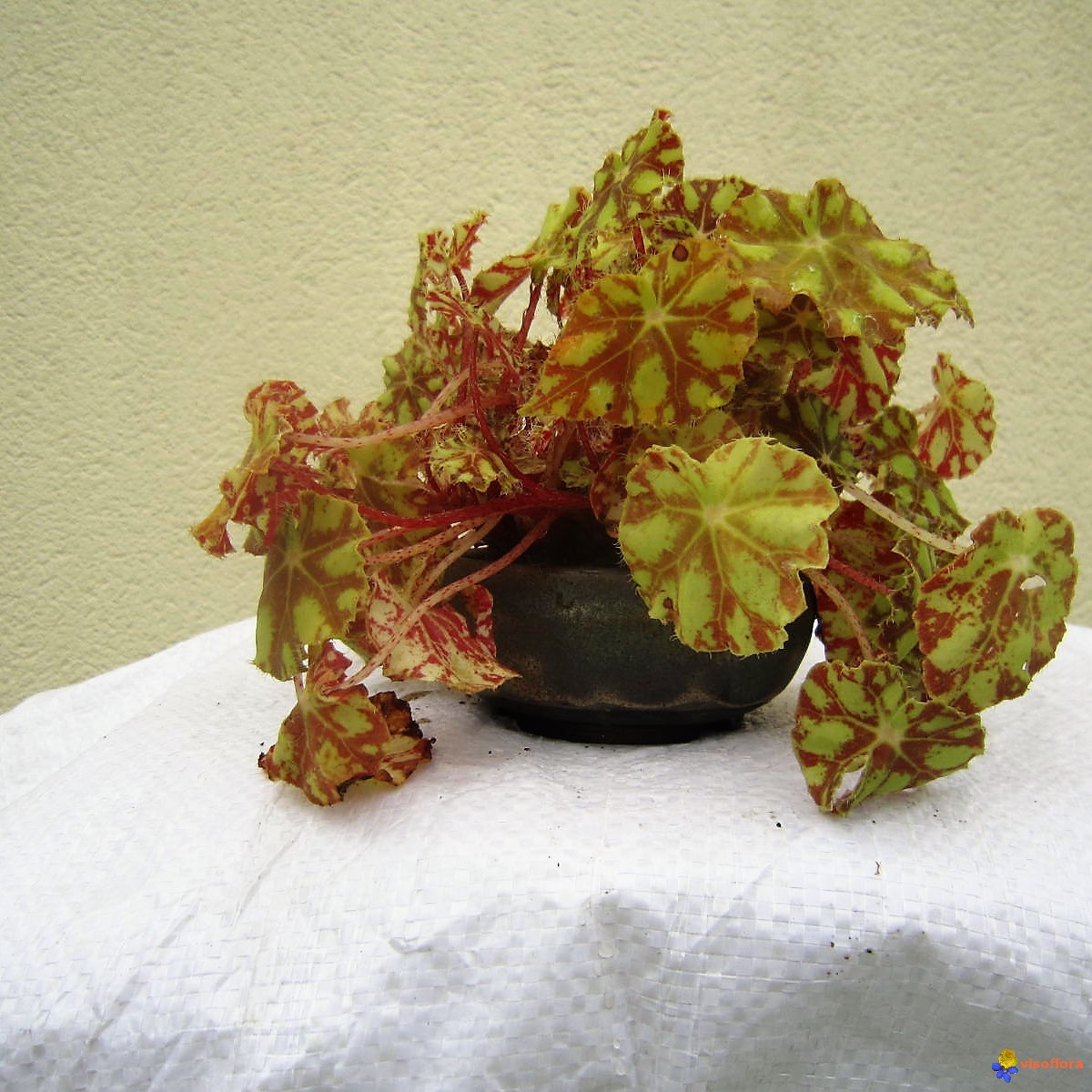 Arrosage Begonia Interieur Photo Bégonia