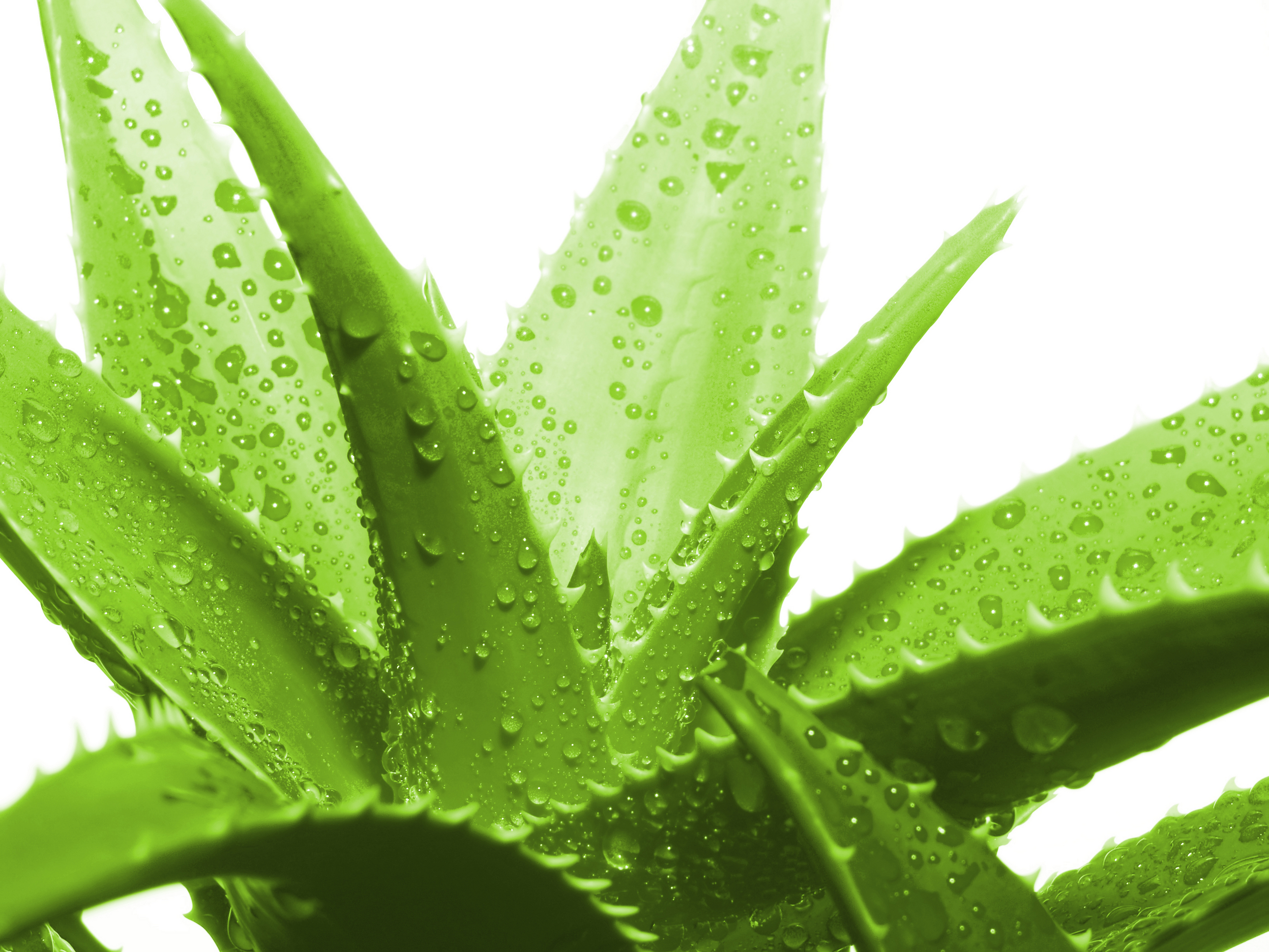 Aleo Vera Aloe Vera And Its Benefits Ayurveda