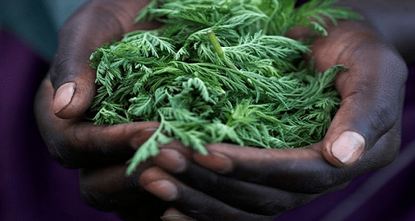 amazing-herb-kills-98-of-cancer-cells-in-just-16-hours
