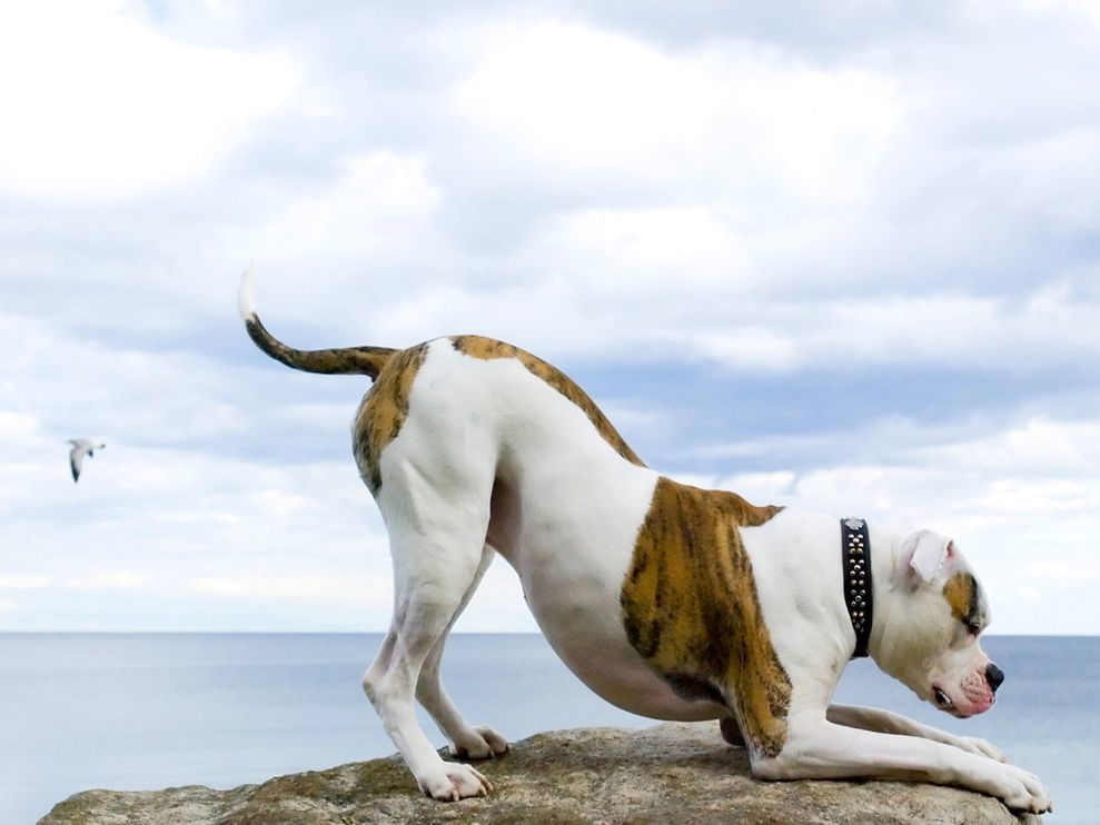 American Bulldogs Frequent Asked Questions About the Breed -