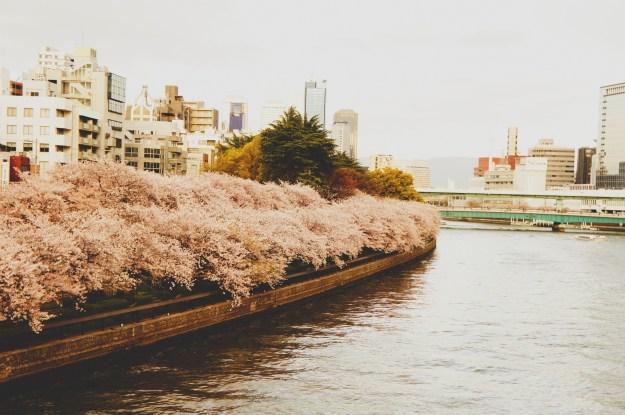 cherry blossom Osaka