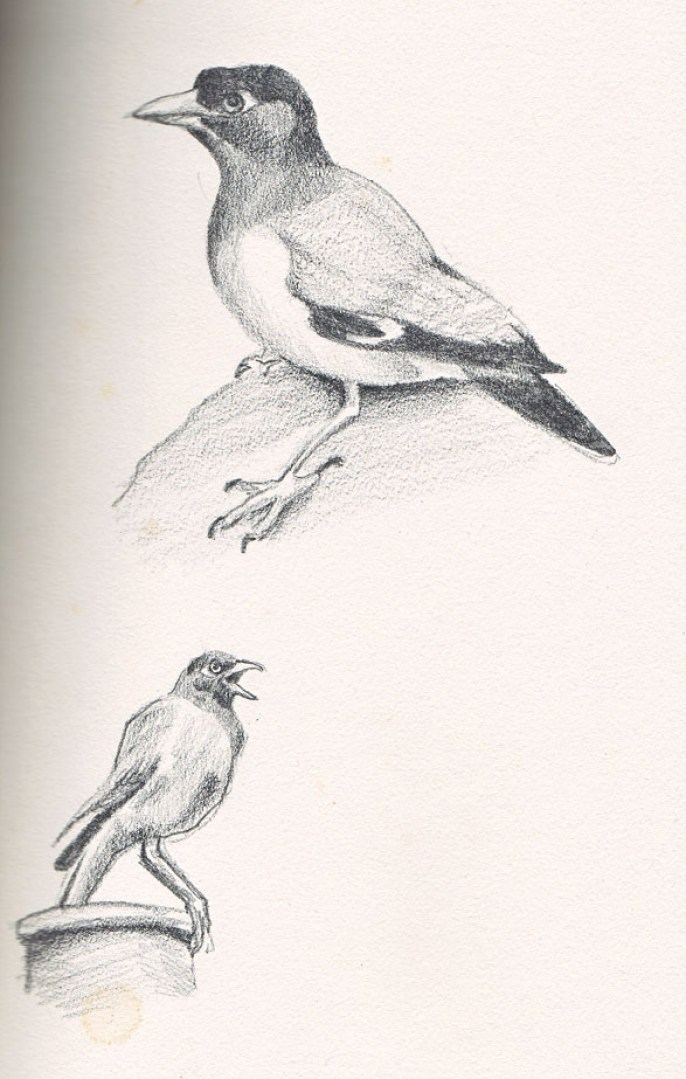 Pencil drawing of a Myna