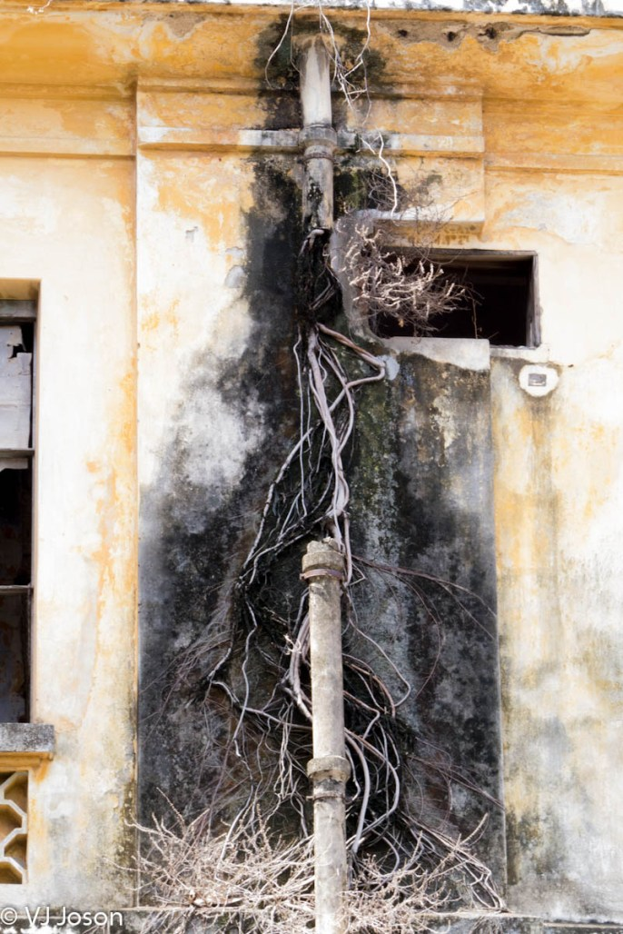 The dried vines overgrowing drain pipes