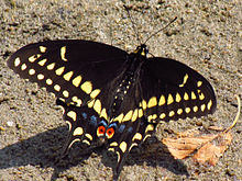 Here's a beautiful Black Swallowtail butterfly.