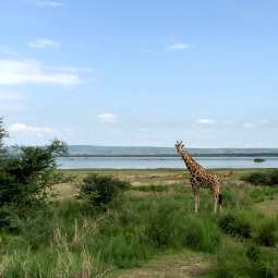 Giraffen in Murchison Falls National Park