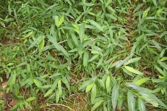 Japanese stiltgrass (Microstegium vimineum)